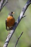 Petirrojo americano (migratorius del migratorius del Turdus) Foto de archivo