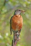 Petirrojo americano (migratorius del Turdus) Imagen de archivo libre de regalías