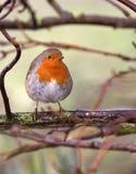Petirrojo británico Imagen de archivo libre de regalías