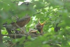 Petirrojo de la madre y sus polluelos imagenes de archivo