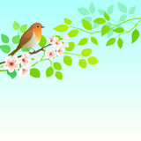 Petirrojo de la primavera Fotos de archivo