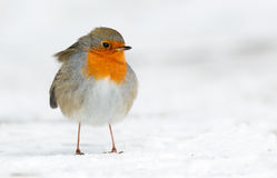 Petirrojo del invierno Fotografía de archivo libre de regalías