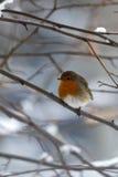 Petirrojo durante el invierno frío Foto de archivo