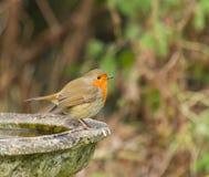 Petirrojo en baño del pájaro Imagen de archivo