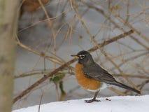 Petirrojo en escena del invierno Imagen de archivo libre de regalías