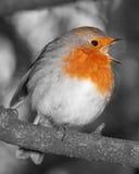 Petirrojo en la canción completa blanco y negro con estallido del color rojo al pecho Foto de archivo