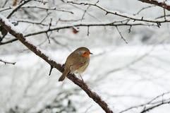 Petirrojo en la nieve Imagenes de archivo