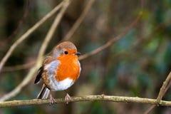Petirrojo en la reserva del pájaro de Leighton Moss RSPB fotos de archivo