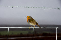 Petirrojo en la reserva del pájaro de Leighton Moss RSPB fotografía de archivo