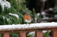Petirrojo en una cerca nevosa. imagenes de archivo