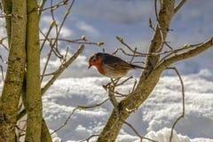 Petirrojo encaramado en rama en la nieve imagenes de archivo