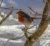 Petirrojo europeo encaramado en rama en la nieve foto de archivo