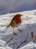 Petirrojo europeo encaramado en un snowbank foto de archivo libre de regalías