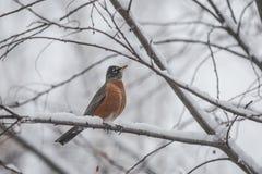 Petirrojo rojo americano en un día nevoso Fotografía de archivo libre de regalías