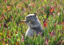 Petisco do esquilo   Foto de Stock Royalty Free