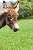 Petit âne Photos stock