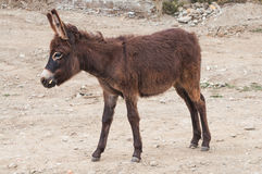 Petit âne Photo libre de droits
