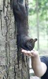 Petit écureuil Image libre de droits