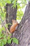 Petit écureuil Photo libre de droits