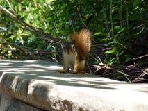 Petit écureuil Images libres de droits