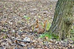 Petit écureuil en parc de ville Photographie stock libre de droits