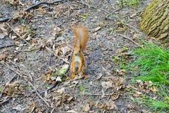 Petit écureuil en parc de ville Photos stock