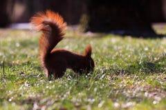 Petit écureuil eurasien rouge Photos stock