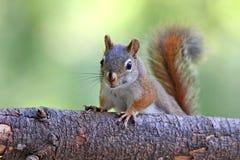 Petit écureuil rouge Photos stock