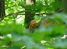 Petit écureuil rouge se tenant sur la branche de l'arbre Images libres de droits