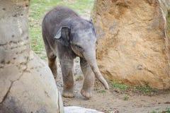 Petit éléphant de bébé entre les roches Photo stock