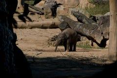 Petit éléphant mignon jouant autour dans la nature Photos libres de droits