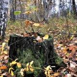 Petit élevage d'arbre dans le vieux tronçon Fin vers le haut Photographie stock