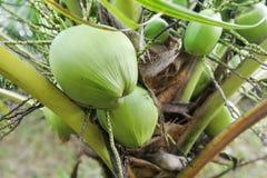Petit élevage de fruits sain de noix de coco de bébé de la tige Photographie stock libre de droits