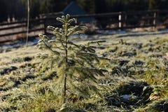 Petit élevage de pin Images libres de droits