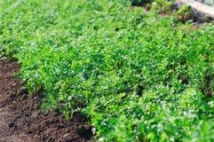 Petit élevage de pousses de carotte. Image stock