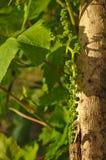 Petit élevage vert de raisins Photo stock