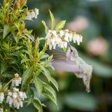 Petit Abeille-colibri d'oiseau Images stock