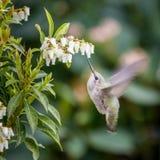 Petit Abeille-colibri d'oiseau Photos libres de droits