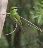 Petit Abeille-mangeur (Merops Orientalis) Photographie stock libre de droits
