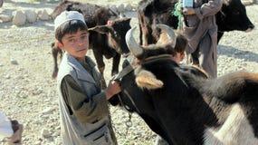 Petit Afghan avec la vache Photo libre de droits