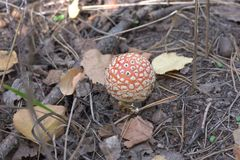 Petit agaric de mouche, avec le chapeau orange lumineux Photos libres de droits