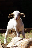 Petit agneau 01 images libres de droits