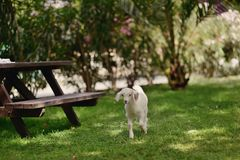 Petit agneau photo libre de droits