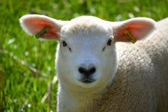 Petit agneau Photo stock
