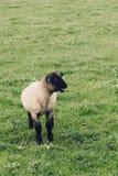 Petit agneau bêlant pour sa mère Images stock