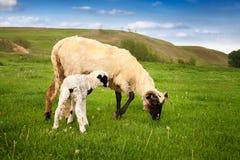 Petit agneau blanc avec le pâturage de mère Images stock