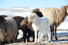 Petit agneau blanc Photos libres de droits