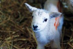 Petit agneau curieux Photographie stock libre de droits