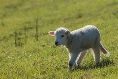 Petit agneau curieux Photographie stock
