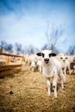Petit agneau curieux chantant dans la ferme locale Photos stock